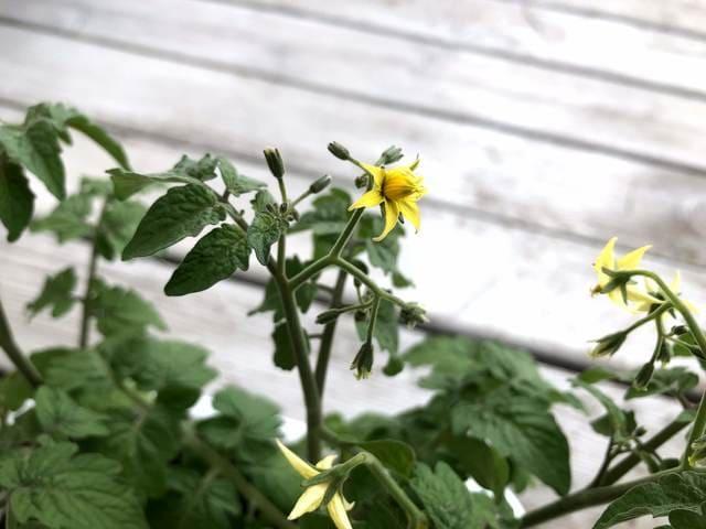 ミニトマト 開花
